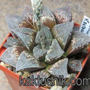 Haworthia 'Black Major' x Haworthia esterhuisenii clon 6