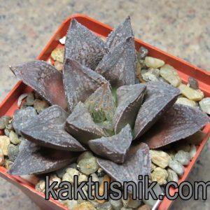 Haworthia 'Bleck Major' x Haworthia 'Yulia'