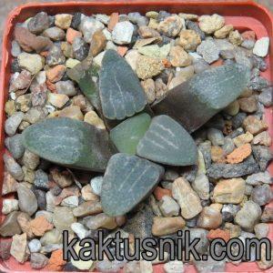 Haworthia groenewaldii