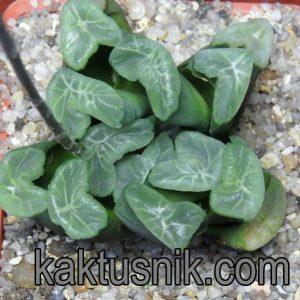 Haworthia maughanii -Japan- VVG9 (2)