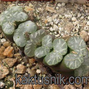 Haworthia truncata -Kobajaschi-