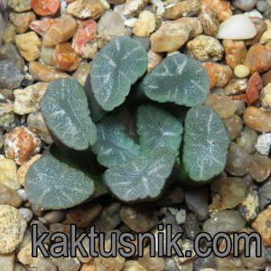 Haworthia maughanii -Japan- VVG 29