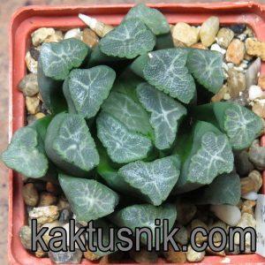 Haworthia maughanii -Japan- VVG14
