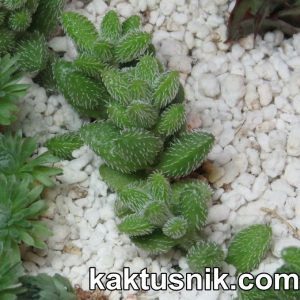 Crassula hirtipes (2)