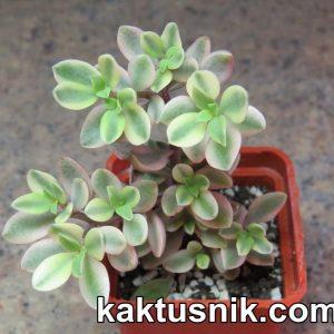 Crassula volkensii f.variegata