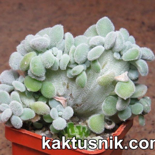 Echeveria setosa f. cristata