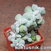Echeveria setosa f. cristata_