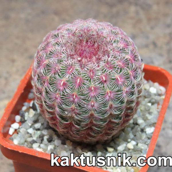 Echinocereus rigidissimus v. rubispinus