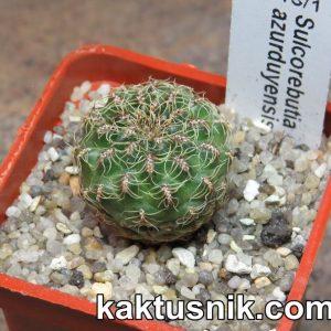 Sulcorebutia azurduyensis B13