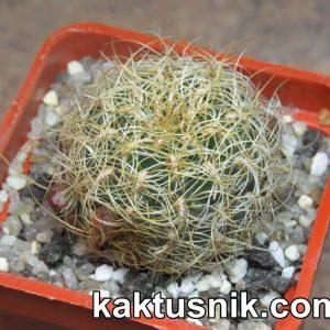 Sulcorebutia hertusii ssp. aureicapitata