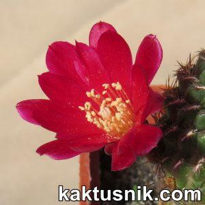 Sulcorebutia tiraquensis var. aguilarii RF190_