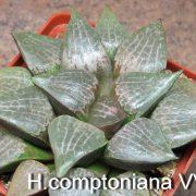 H.comptoniana VVG7