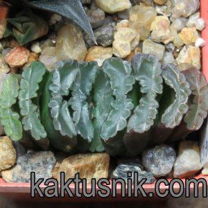 Haworthia VVG15 x truncata -Japan- clon1_