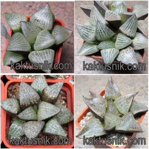 Haworthia comptoniana mix