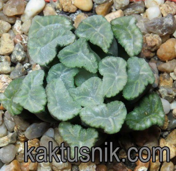 Haworthia maughanii 'Crystal'_