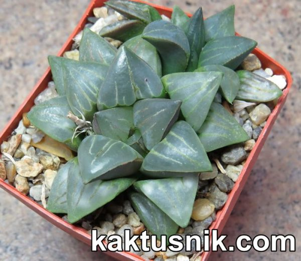 Haworthia mutica v.nigra JDV86-16