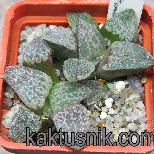 Haworthia pygmaea v. argenteo-maculosa GM 326 -Humor- 400 р