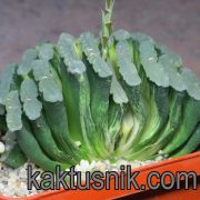 Haworthia truncata f. variegata -Chervinko-