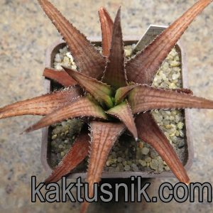 Haworthia woolleyi -Kleinpoort-