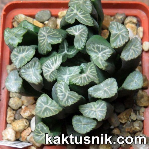 Haworthia 'Viktori' x maughanii -Hiroshi- clon1
