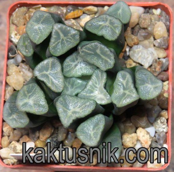 Haworthia maughanii -Japan- VVG20