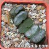 Haworthia truncata 3