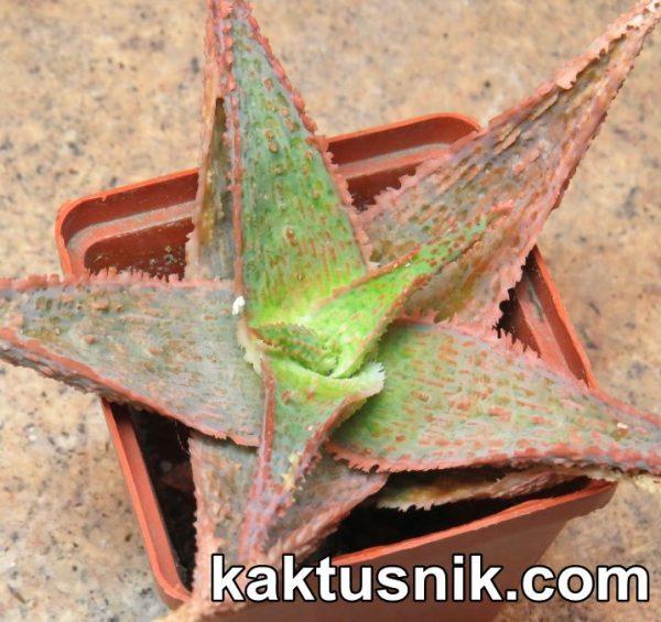 Aloe 'Sunrise' hybrid clon10