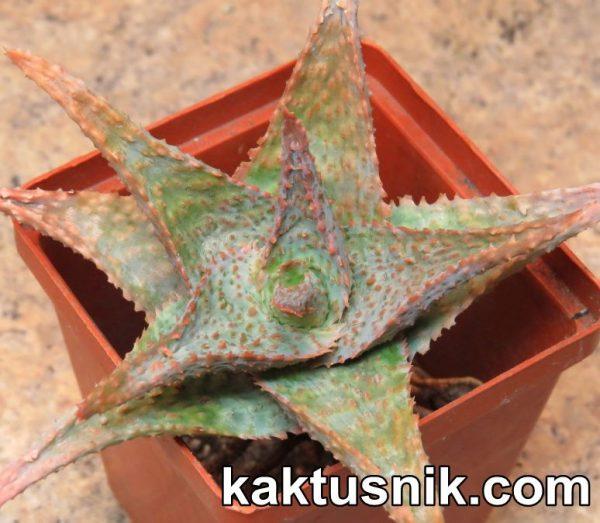 Aloe 'Sunrise' x 'Vito' clon1