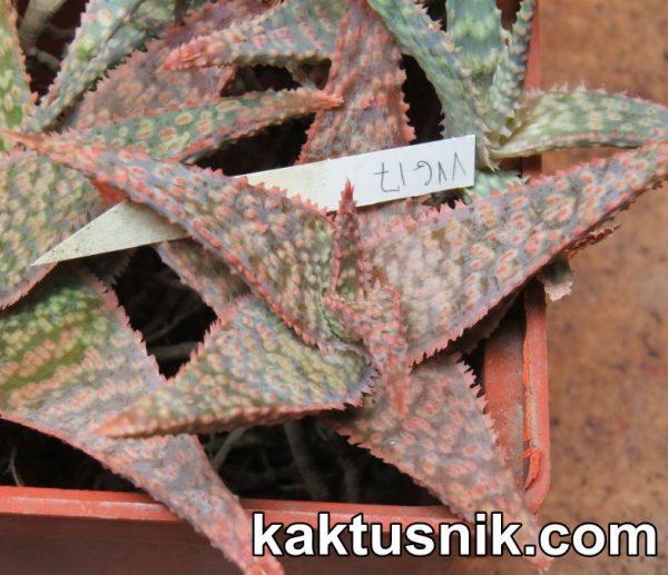 Aloe VVG17