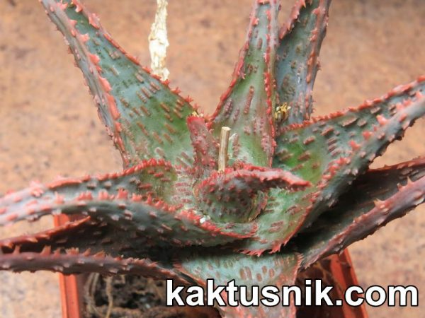 Aloe 'Viper'