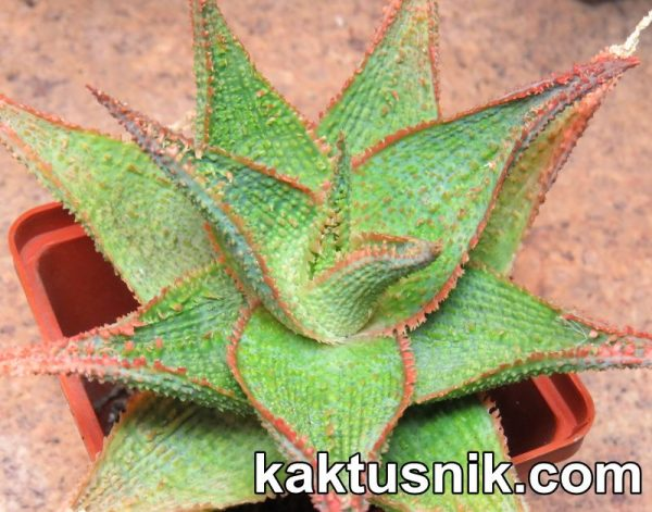 Aloe 'Vito' x 'Pepermint'