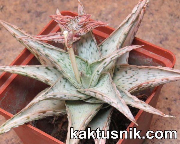 Aloe rauhii 'Snow Flake' hybrid