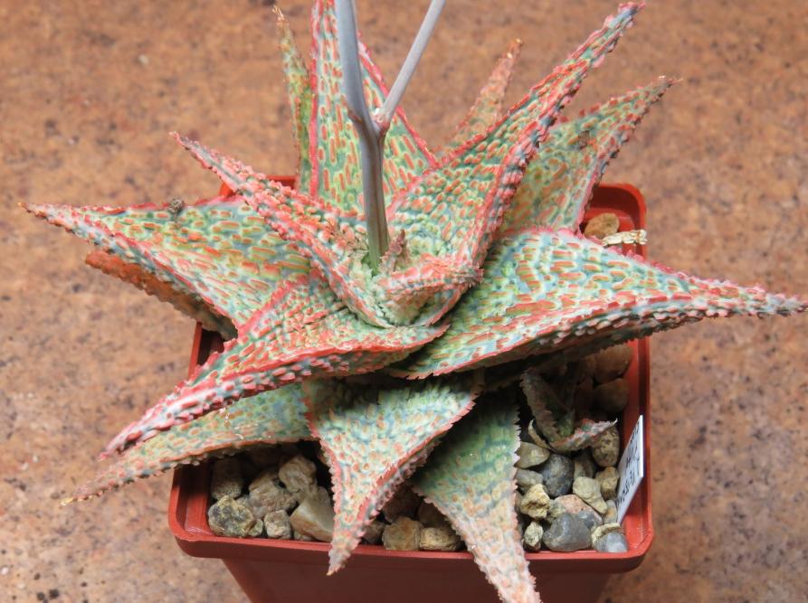 Aloe 'Pepermint' x Aloe 'Vito' clon1