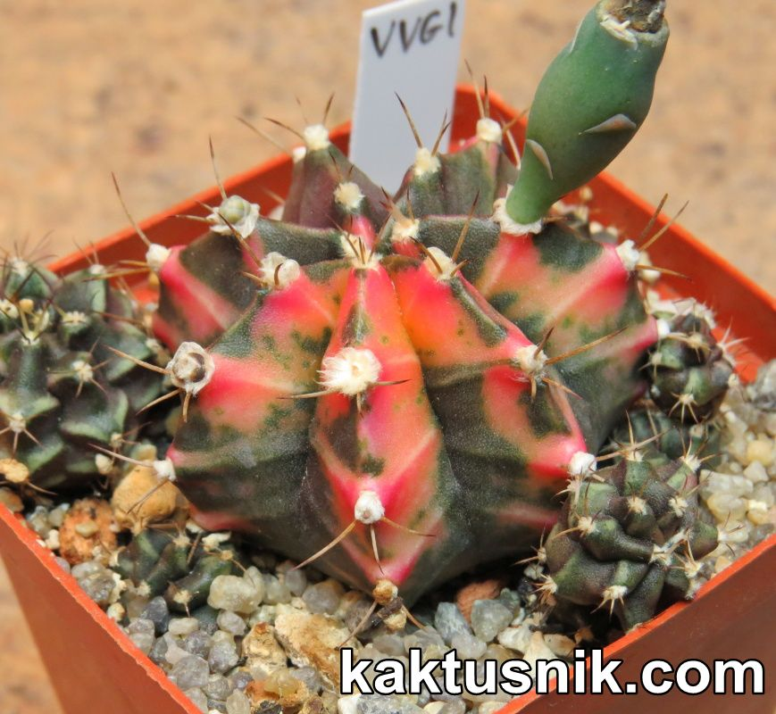 Gymnocalycium mihanovichii f.variegata VVG1