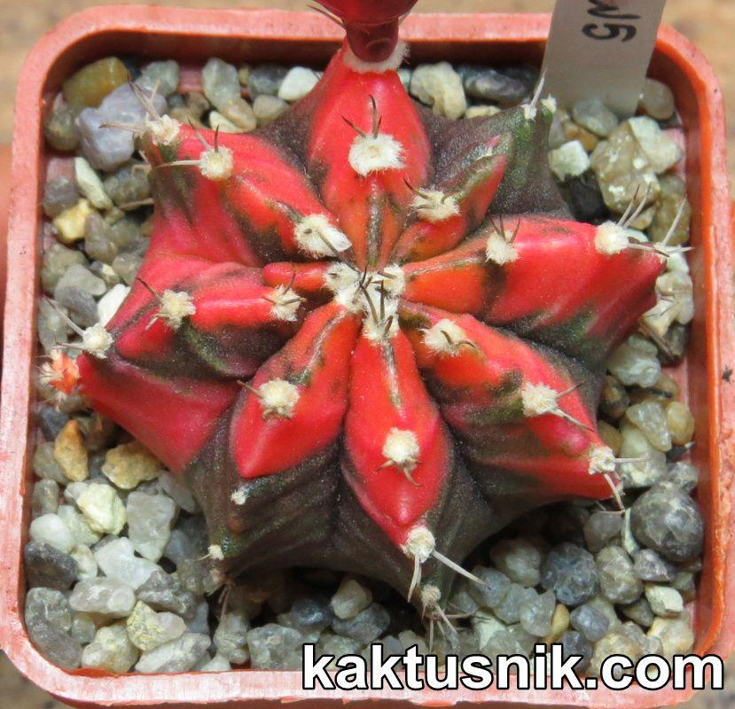 Gymnocalycium mihanovichii f.variegata clon5____