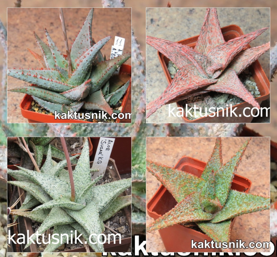 Aloe hybrid mix семена урожай 2020 года