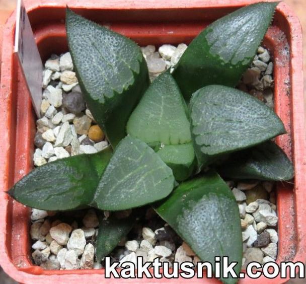 Haworthia bayeri hybrid